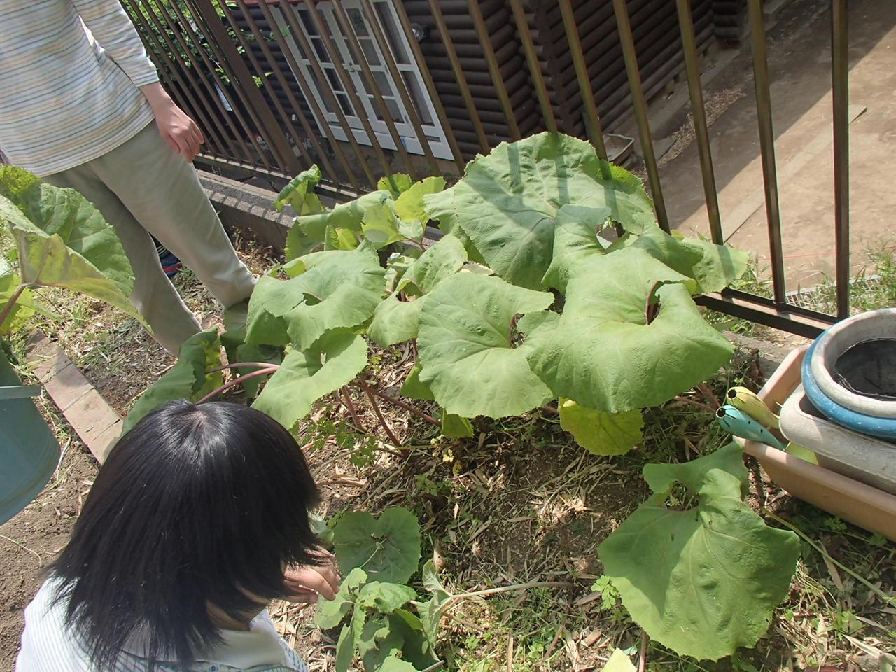 0501フキ収穫・調理 004.JPG